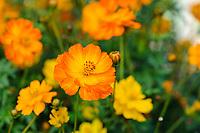 Cosmos sulphureus 'Ladybird Mixed'