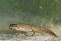 Fadenmolch, Weibchen, Faden-Molch, Leistenmolch, Lissotriton helveticus, Syn. Triturus helveticus, Molch, Molche, palmate newt, female, newt, newts