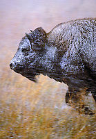 PLAINS BISON in autumn snowstorm..Grand Teton National Park, Wyoming..U.S.A. (Bison bison).