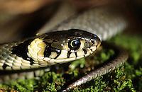 Ringelnatter, Ringel-Natter, Natter, Portrait, Natrix natrix, grass snake