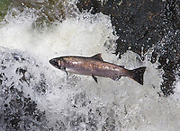 Spawning salmon have to work hard to get upstream.