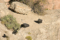 Two immatue California Condors (Gymnogyps californianus) harassing a raven off rocky cliff area.  Western U.S.