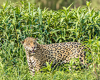 an adult male jaguar, Panthera onca, in tall grass, Rio Cuiabá, Mato Grosso, Brazil, South America