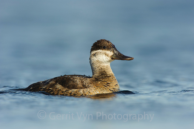 Adult female Ruddy Duck (Oxyura jamaicensis). Alberta, Canada. May.