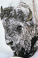 Bison bull (Bison bison), Winter.