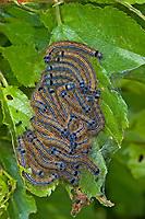 Ringelspinner, Raupe, Raupen, Raupengespinst, Ringel-Spinner, Malacosoma neustria, Malacosoma neustrium, Phalaena neustria, Lackey moth, Lackey, caterpillar, Glucken, Lasiocampidae