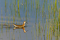Wilson's phalarope (Phalaropus tricolor).  Timmerman Ranch, Oregon.  June.