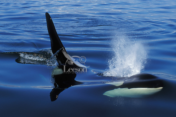 Orca Whale or Killer Whale (Orcinus orca) starting to blow (exhale) while still underwater.  Pacific Northwest.