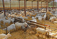 Dispersal sale of milking goats, Park Farm, Over Peover, Cheshire.