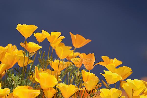 Mexican Gold Poppy (Eschscholzia californica mexicana), blooming, Tonto National Forest, Bartlett Lake , Arizona, USA