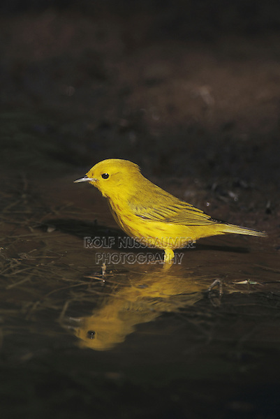 Yellow Warbler (Dendroica petechia), male bathing, Starr County, Rio Grande Valley, Texas, USA