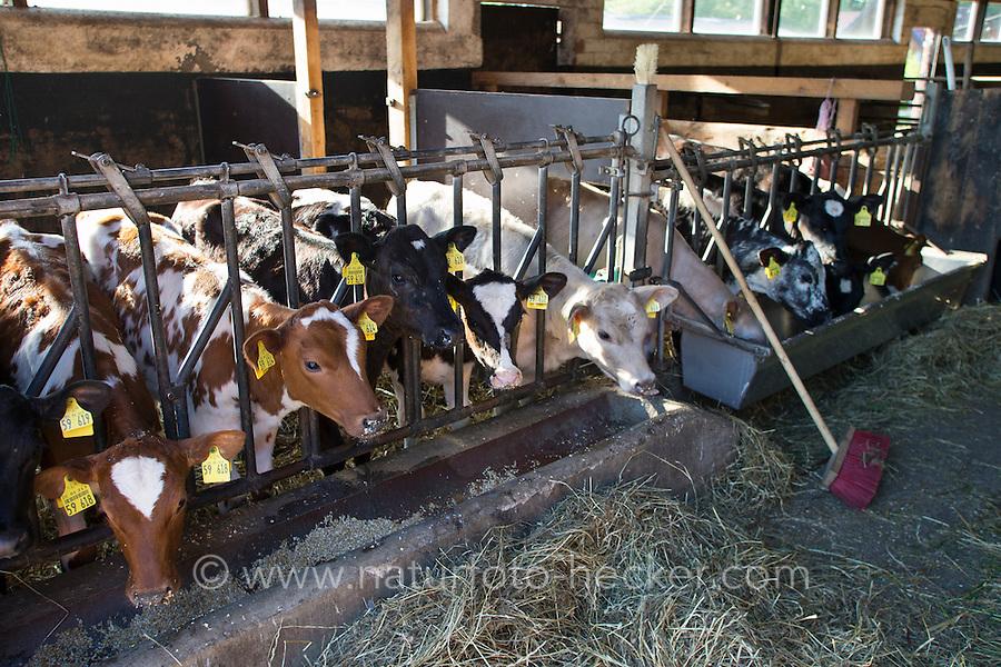Rind, Hausrind, Kuh, Kühe, Rinder, artgerechte Tierhaltung, Weidevieh, Weidewirtschaft, Jungtiere im Stall, Kuhstall, cattle, cow. Hamfelder Hof, Schleswig-Holstein