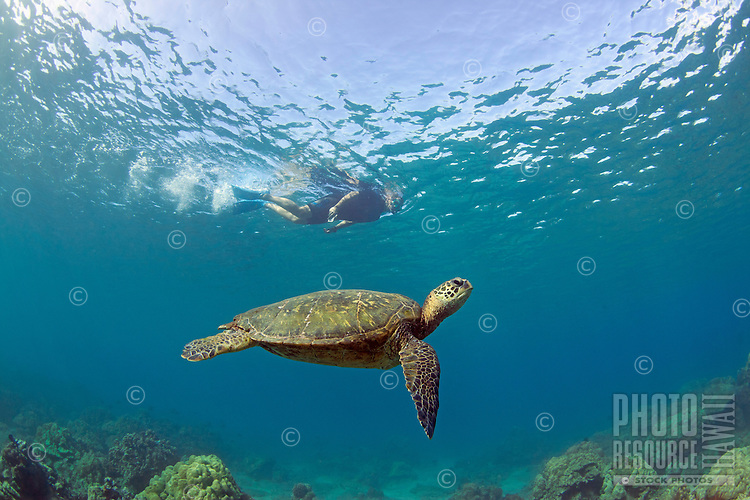 Green sea turtle with snorkeler in Makena, Maui.
