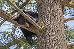 Yellowstone National Park, WY: American Black Bear (Ursus americanus) in a tree