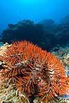 Crown of Thorns Starfish, Acanthaster planci, Yap, Micronesia, Pacific Ocean