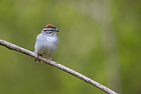 Chipping Sparrow (Spizella passerina passerina) foraging on its breeding territory at Doodletown, Bear Mountain State Park, New York.