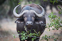 Cape Buffalo in the Timbavati, South Africa