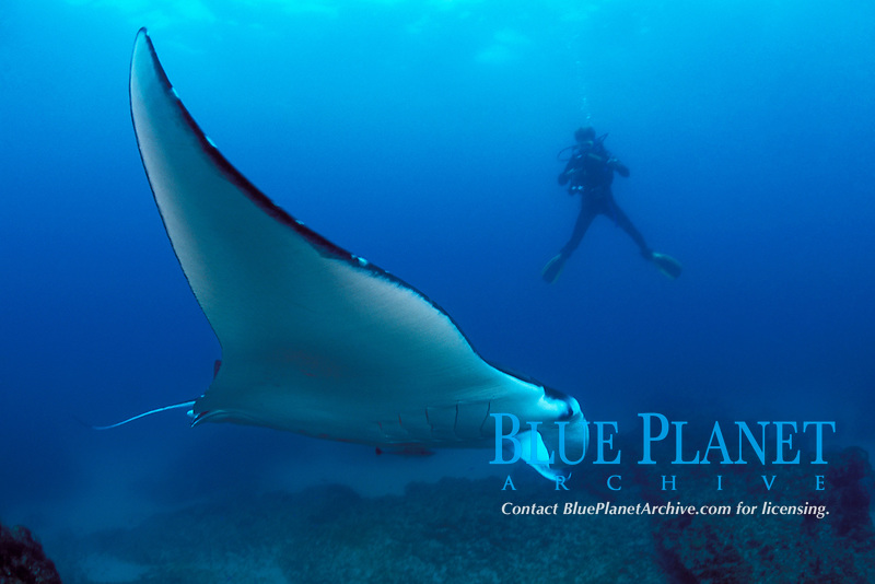 reef manta ray, Mobula alfredi, & diver, Manta Bommie, N. Stradbroke Island, near Brisbane, Queensland, Australia