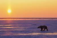 Polar Bear.  Hudson Bay, sunset.  Late November.