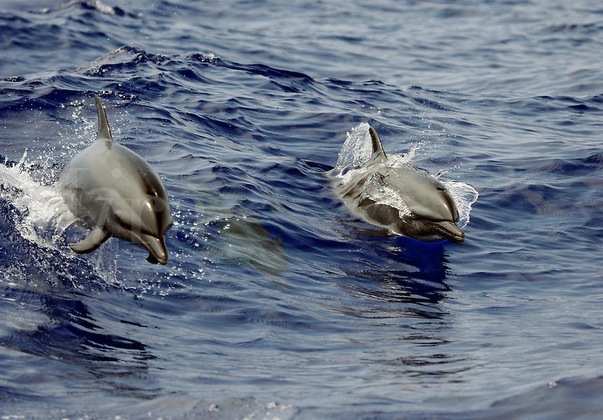 Pacific spotted dolphin, Stenella attenuata. Hawaii.