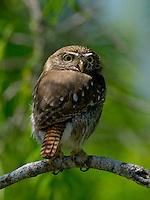 Ferruginous Pygmy Owl, El Tecalote Ranch, TX
