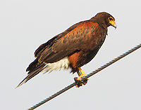 Adult Harris' hawk perched on wire