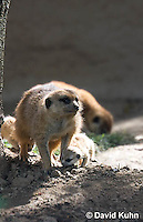 0329-1010  Meerkat with Baby (Pup), Suricata suricatta  © David Kuhn/Dwight Kuhn Photography.