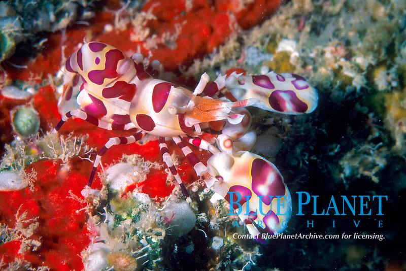 harlequin shrimp Hymenocera picta Oahu, Hawaii, USA, Pacific Ocean