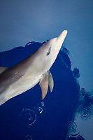 Indo-Pacific bottlenose dolphin, Tursiops aduncus, bow-riding, Chichi-jima, Bonin Islands, Ogasawara Islands, Japan, Pacific Ocean