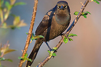 Female Common Grackle (Quiscalus quiscula))  Eastern U.S., May.