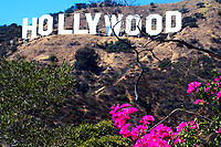 The world-famous Hollywood sign landmark with pink flowers in the foreground, Los Angeles, California, USA