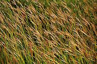 Big Bluestem grass, Andropogon gerardii, a Tallgrass Prairie species growing at Hole-In-The-Mountain Prairie, The Nature Conservancy Preserve, near Lake Benton, Minnesota, AGPix_0072.
