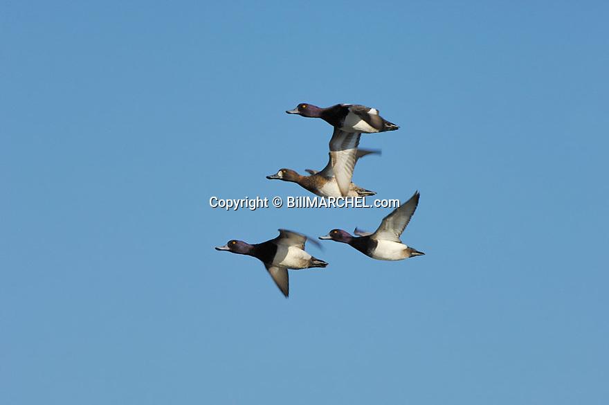 00342-007.08 Lesser Scaup (DIGITAL) flock in flight against blue sky.  Bluebill, action, hunt, waterfowl, wetland, fly.  H2L1