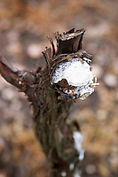 A vine that has recently been pruned. The cut has been painted with a white substance that will protect it from being attacked by diseases, mould and other. Bodega Vinos Finos H Stagnari Winery, La Puebla, La Paz, Canelones, Montevideo, Uruguay, South America