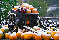 Wagon full of snow coverred pumpkins, Barton Tourist Info Center, Vermont