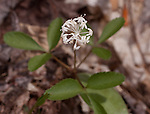 Flower and leaves of Dwarf Ginseng in Staten Island