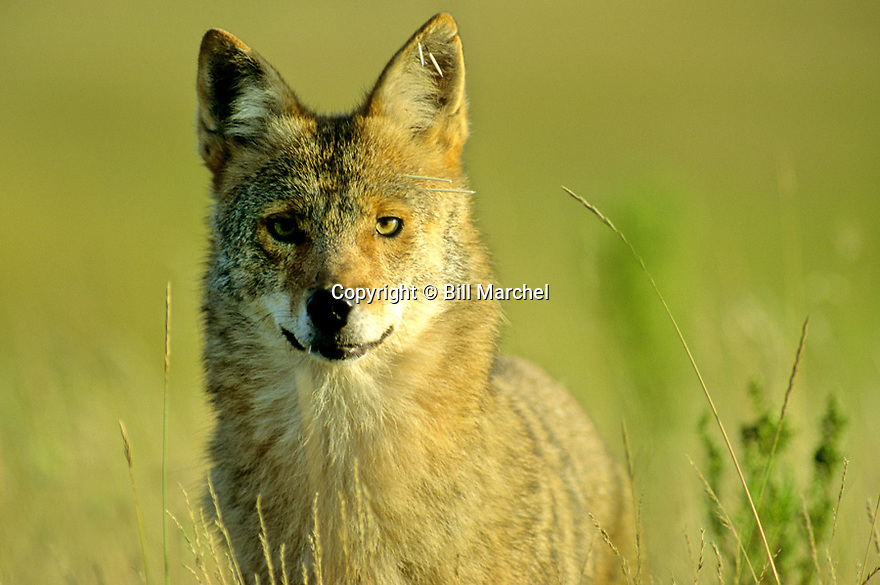 00220-004.13 Coyote close-up of face and head showing porcupine quills in face, ear and lip. Swelling around mouth.