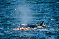 Transient Killer whale, Orcinus orca, Gray whale, Eschrichtius robustus, female orca feeding on killed gray whale calf, view of intestines, Monterey bay, California, USA, East Pacific ocean, usa, national marine sanctuary