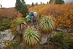 The prominent spiky pandani is one of the world's tallest heath plants..Pandani (richea pandanifolia) endemic to tasmania...Pandani (richea pandanifolia) cette variété de bruyère est la plus haute au monde.Comme beaucoup de plantes de Tasmanie, elle partage un ancètre commun avec des espèces de Nouvelle Zélande et d'Amérique du Sud, terres qui étaient autrefois réunies en un même continent, le Gondwana