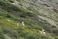 Bighorn Sheep or Mountain Sheep (Ovis canadensis) ewes with lambs.  Northern Rockies.  June.