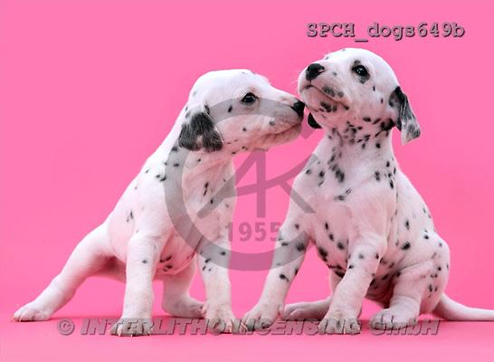Xavier, ANIMALS, dogs, photos(SPCHdogs649b,#A#) Hunde, perros