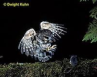 OW08-019z  Saw-whet owl - catching deer mouse prey - Aegolius acadicus