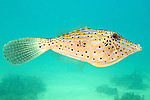 Aluterus scriptus, Scrawled filefish, Florida Keys