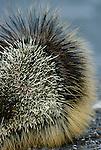 Porcupine, Washington, USA