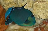 0518-1001  Niger triggerfish, Odonus niger  © David Kuhn/Dwight Kuhn Photography