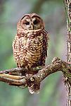 Northern Spotted Owl, Wenatchee National Forest, Washington