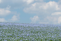 5-6-2021 Linseed flowering<br /> ©Tim Scrivener Photographer 07850 303986<br />      ....Covering Agriculture In The UK....