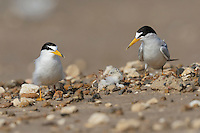 Least Tern (Sterna antillarum), pair watching newly hatched young on back, Port Isabel, Laguna Madre, South Padre Island, Texas, USA