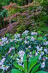 Azalea, Japanese Maple, Redwoods, Fern Canyon Garden, Mill Valley, California