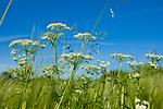 Europa, DEU, Deutschland, Baden-Wuerttemberg, Schwaebische Alb, Ochsenwang, Wiesen-Kerbel (Anthriscus sylvestris), Natur, Umwelt, Pflanzen, Pflanzenkunde, Botanik, Biologie, <br /> <br /> [Fuer die Nutzung gelten die jeweils gueltigen Allgemeinen Liefer-und Geschaeftsbedingungen. Nutzung nur gegen Verwendungsmeldung und Nachweis. Download der AGB unter http://www.image-box.com oder werden auf Anfrage zugesendet. Freigabe ist vorher erforderlich. Jede Nutzung des Fotos ist honorarpflichtig gemaess derzeit gueltiger MFM Liste - Kontakt, Uwe Schmid-Fotografie, Duisburg, Tel. (+49).2065.677997, ..archiv@image-box.com, www.image-box.com]